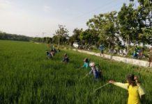 Para petani sedang membasmi hama padi. (Atmo)