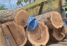 Ilustrasi : Hasil curian kayu Jati di wilayah Tuban