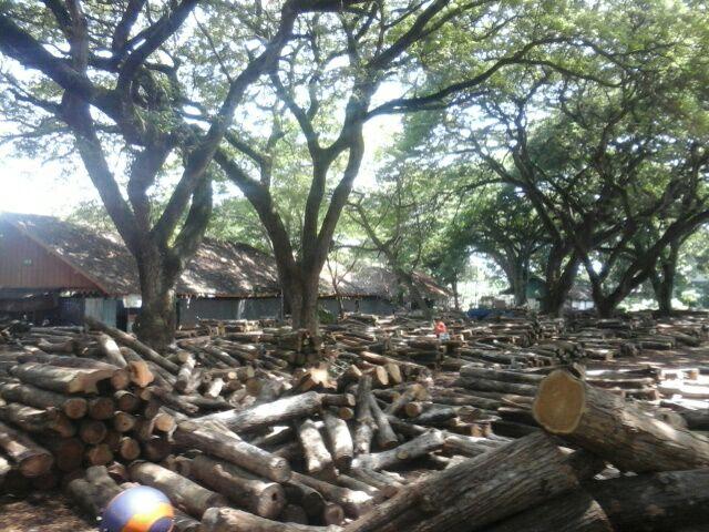 Lokasi tumpukan kayu yang berada kantor Perhutani Tuban. (Musyafa')